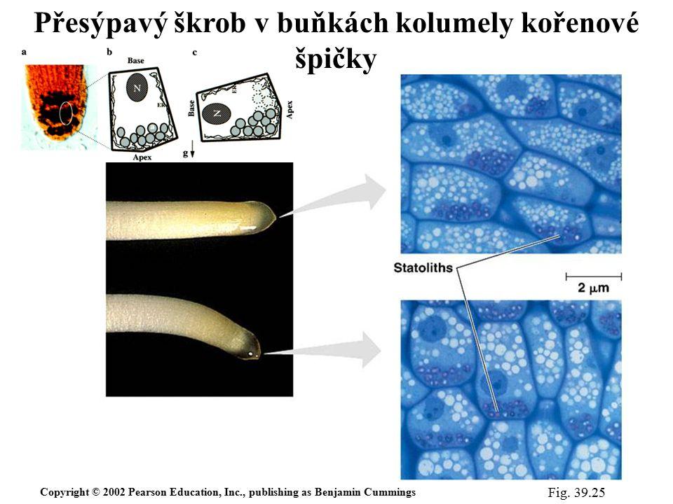 Copyright © 2002 Pearson Education, Inc., publishing as Benjamin Cummings Fig. 39.25 Přesýpavý škrob v buňkách kolumely kořenové špičky