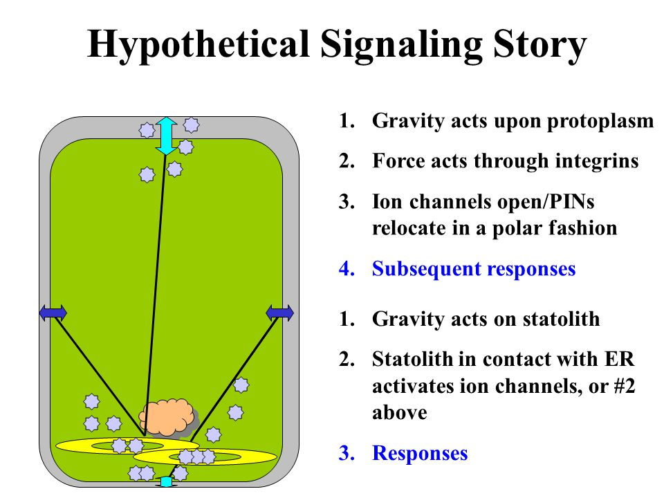 Hypothetical Signaling Story 1.Gravity acts upon protoplasm 2.Force acts through integrins 3.Ion channels open/PINs relocate in a polar fashion 4.Subs
