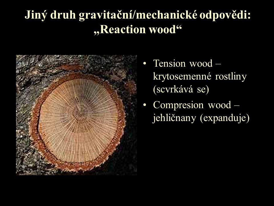 """Jiný druh gravitační/mechanické odpovědi: """"Reaction wood"""" Tension wood – krytosemenné rostliny (scvrkává se) Compresion wood – jehličnany (expanduje)"""