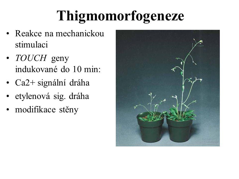 Thigmomorfogeneze Reakce na mechanickou stimulaci TOUCH geny indukované do 10 min: Ca2+ signální dráha etylenová sig. dráha modifikace stěny