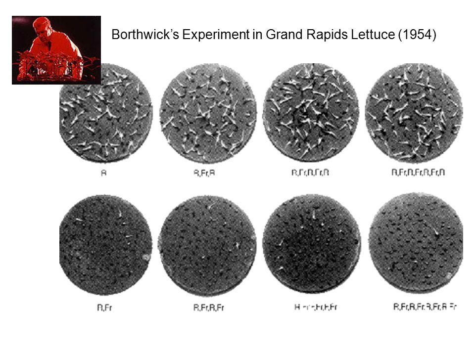 Borthwick's Experiment in Grand Rapids Lettuce (1954)