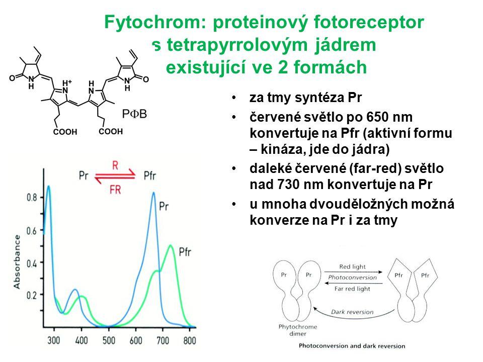 Fytochrom: proteinový fotoreceptor s tetrapyrrolovým jádrem existující ve 2 formách za tmy syntéza Pr červené světlo po 650 nm konvertuje na Pfr (aktivní formu – kináza, jde do jádra) daleké červené (far-red) světlo nad 730 nm konvertuje na Pr u mnoha dvouděložných možná konverze na Pr i za tmy