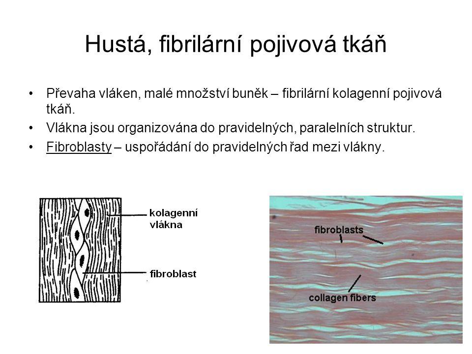 Hustá, fibrilární pojivová tkáň Převaha vláken, malé množství buněk – fibrilární kolagenní pojivová tkáň. Vlákna jsou organizována do pravidelných, pa