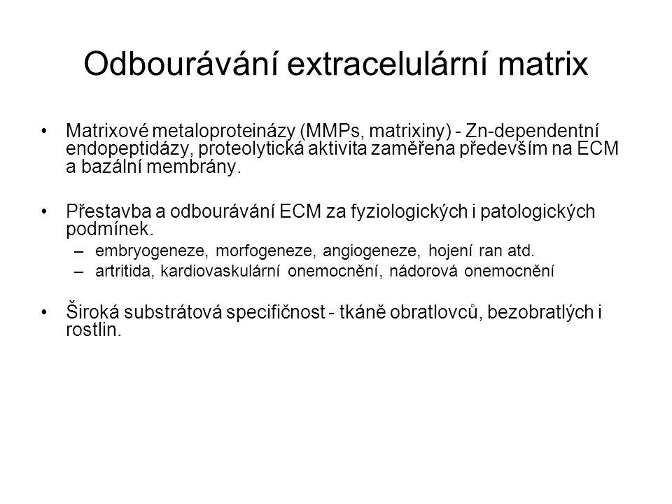 Odbourávání extracelulární matrix Matrixové metaloproteinázy (MMPs, matrixiny) - Zn-dependentní endopeptidázy, proteolytická aktivita zaměřena předevš