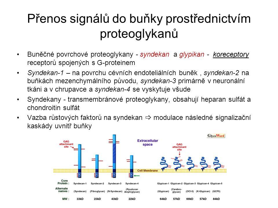 Přenos signálů do buňky prostřednictvím proteoglykanů koreceptoryBuněčné povrchové proteoglykany - syndekan a glypikan - koreceptory receptorů spojený