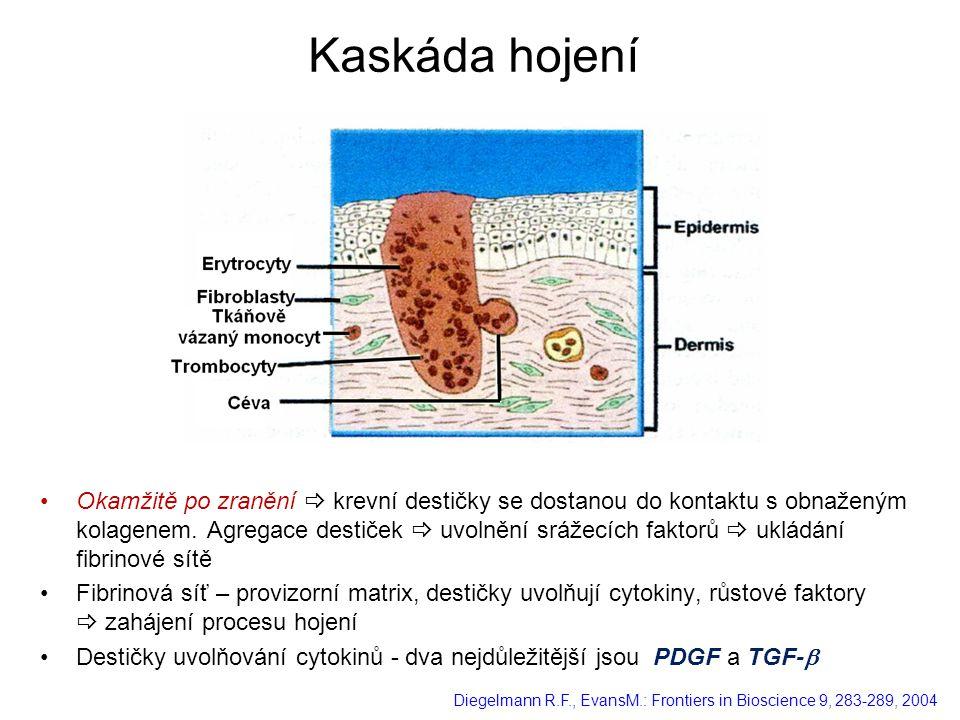 Okamžitě po zranění  krevní destičky se dostanou do kontaktu s obnaženým kolagenem. Agregace destiček  uvolnění srážecích faktorů  ukládání fibrino