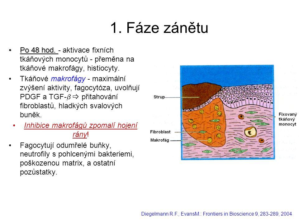 Diegelmann R.F., EvansM.: Frontiers in Bioscience 9, 283-289, 2004 1. Fáze zánětu Po 48 hod.Po 48 hod. - aktivace fixních tkáňových monocytů - přeměna