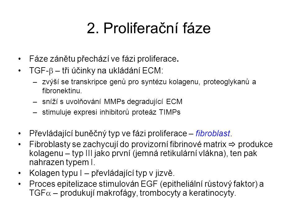 2. Proliferační fáze Fáze zánětu přechází ve fázi proliferace. TGF-  – tři účinky na ukládání ECM: –zvýší se transkripce genů pro syntézu kolagenu, p