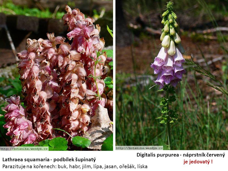 Lathraea squamaria - podbílek šupinatý Parazituje na kořenech: buk, habr, jilm, lípa, jasan, ořešák, líska Digitalis purpurea - náprstník červený je j