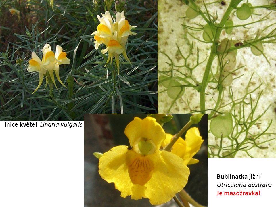 Hluchavkovité (Lamiaceae) květy mají souměrné podle jedné roviny listy vstřícné lodyha je čtyřhranná plodem je tvrdka obsahují silice léčivky Hluchavka bílá (Lamium album)