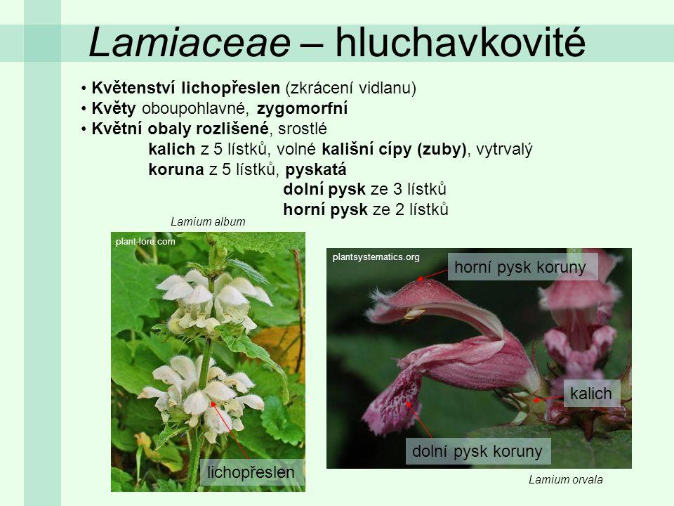 Lamium album Lamiaceae – hluchavkovité Květenství lichopřeslen (zkrácení vidlanu) Květy oboupohlavné, zygomorfní Květní obaly rozlišené, srostlé kalic