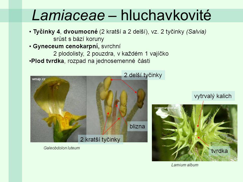 Lamiaceae – hluchavkovité Tyčinky 4, dvoumocné (2 kratší a 2 delší), vz. 2 tyčinky (Salvia) srůst s bází koruny Gyneceum cenokarpní, svrchní 2 plodoli