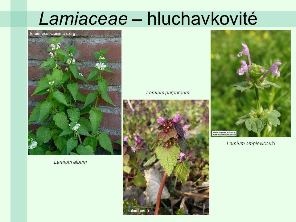 Lamiaceae – hluchavkovité Lamium album Lamium purpureum Lamium amplexicaule forum.exotic-animals.org kolumbus.fi