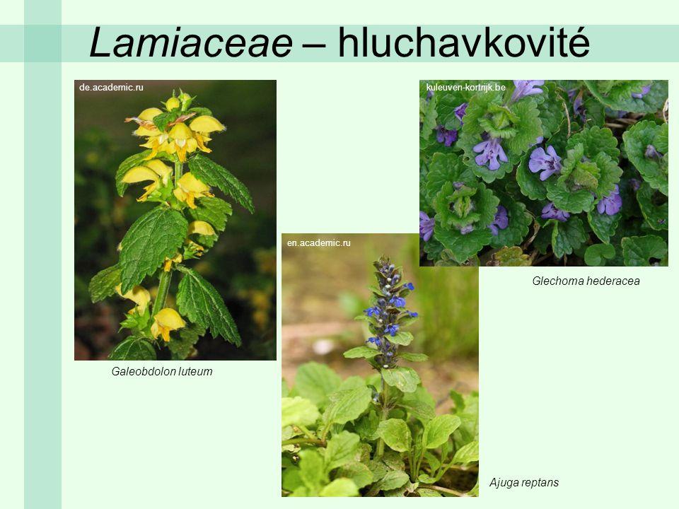 Lamiaceae – hluchavkovité Galeobdolon luteum Glechoma hederacea Ajuga reptans de.academic.ru en.academic.ru kuleuven-kortrijk.be