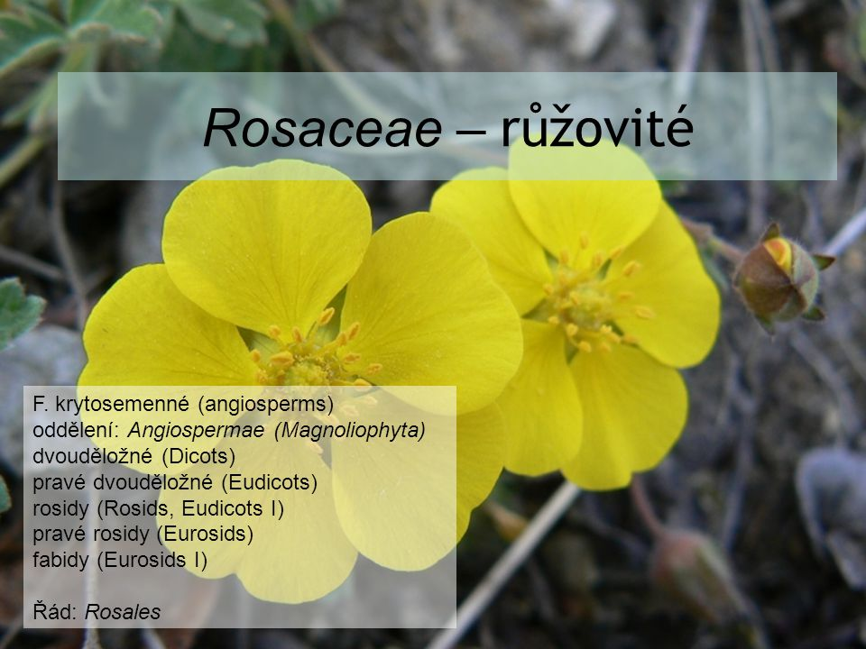 Rosaceae – růžovité F. krytosemenné (angiosperms) oddělení: Angiospermae (Magnoliophyta) dvouděložné (Dicots) pravé dvouděložné (Eudicots) rosidy (Ros