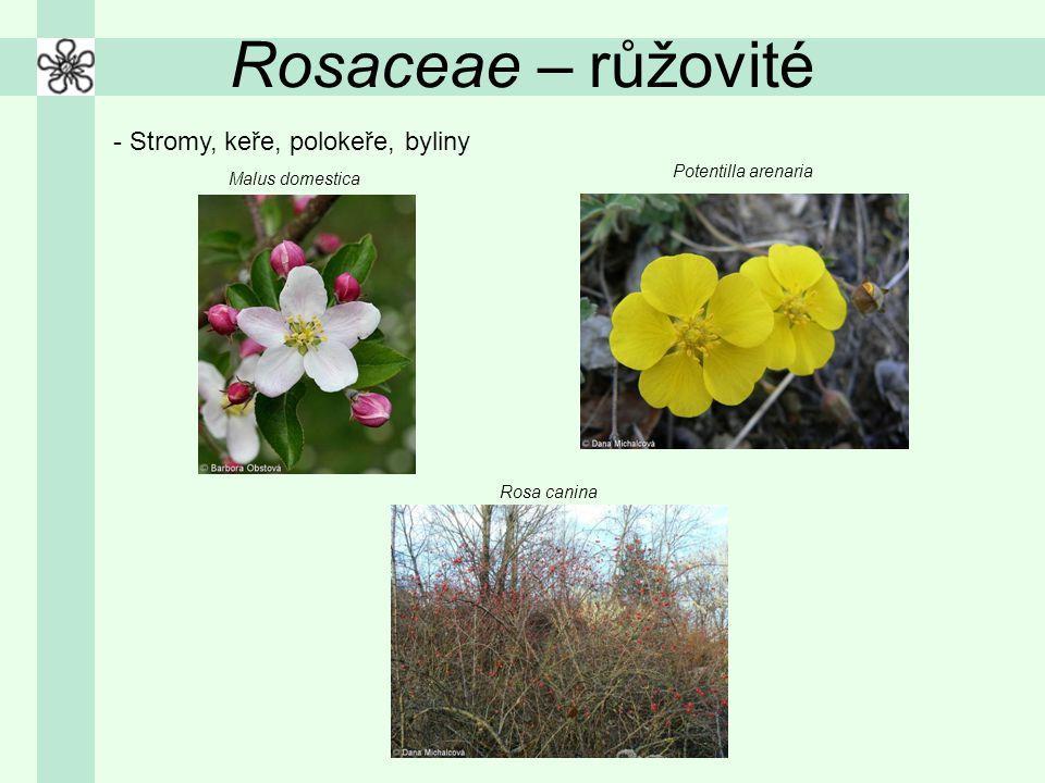 Rosaceae – růžovité - Stromy, keře, polokeře, byliny Potentilla arenaria Rosa canina Malus domestica