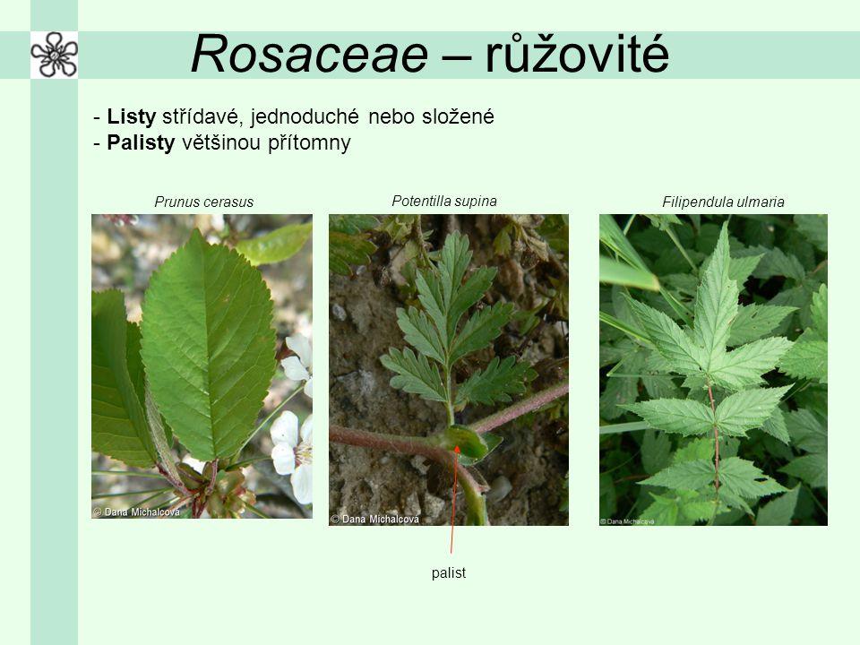 Rosaceae – růžovité - Listy střídavé, jednoduché nebo složené - Palisty většinou přítomny Filipendula ulmariaPrunus cerasus Potentilla supina palist