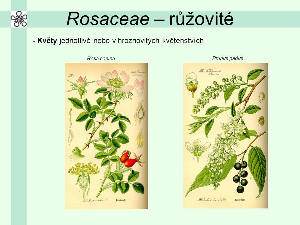 Rosaceae – růžovité - Květy jednotlivé nebo v hroznovitých květenstvích Rosa canina Prunus padus