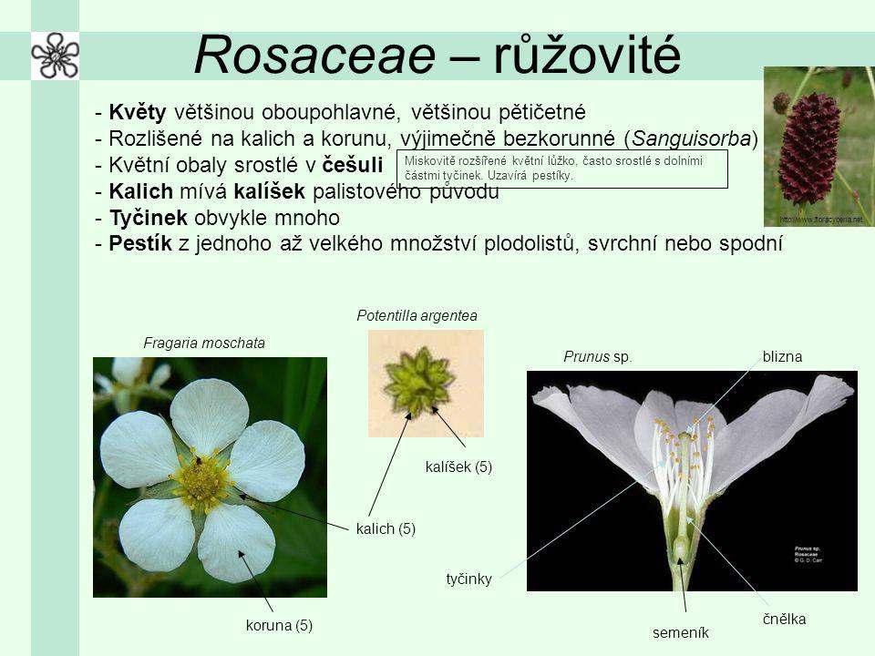 Rosaceae – růžovité - Květy většinou oboupohlavné, většinou pětičetné - Rozlišené na kalich a korunu, výjimečně bezkorunné (Sanguisorba) - Květní obal