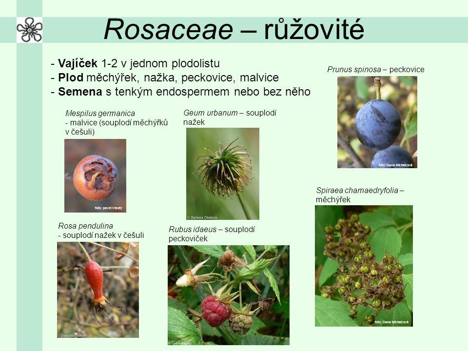 Rosaceae – růžovité - Vajíček 1-2 v jednom plodolistu - Plod měchýřek, nažka, peckovice, malvice - Semena s tenkým endospermem nebo bez něho Mespilus