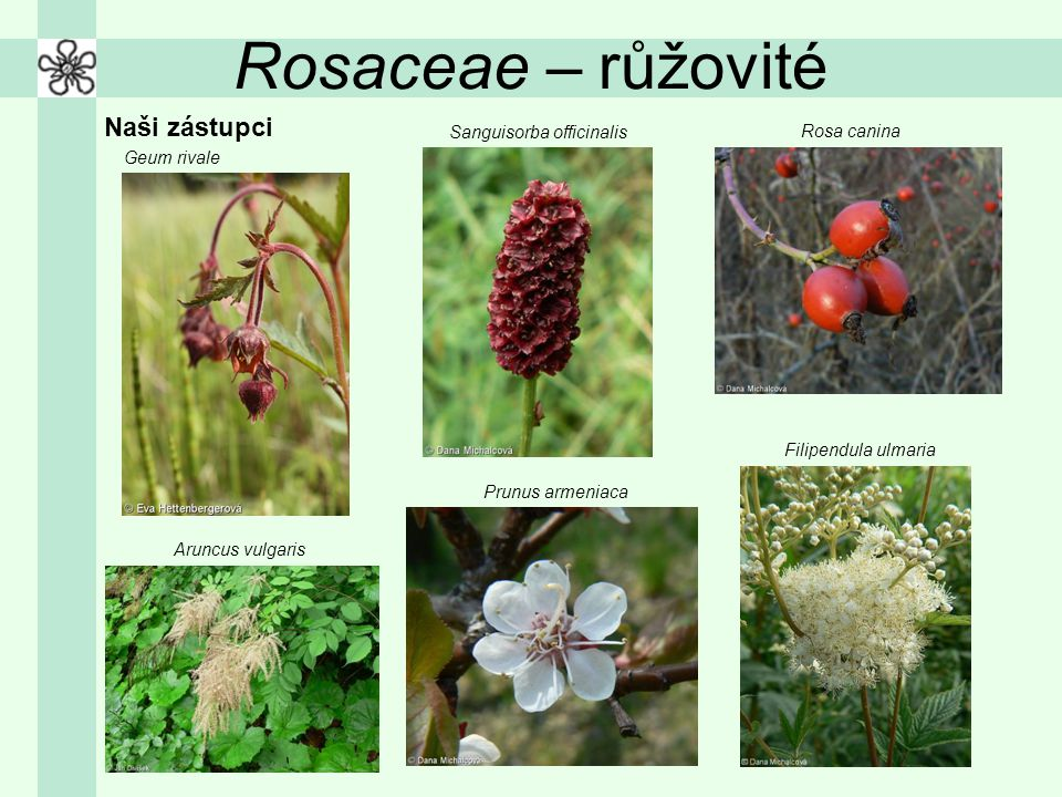 Rosaceae – růžovité Naši zástupci Geum rivale Sanguisorba officinalis Rosa canina Aruncus vulgaris Prunus armeniaca Filipendula ulmaria
