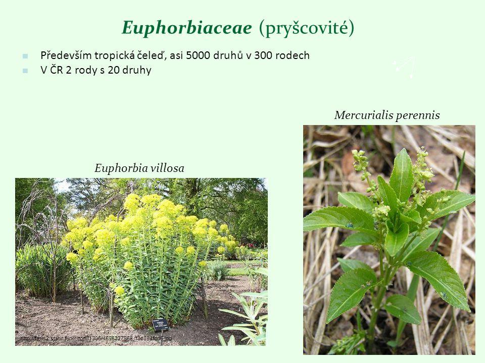 Euphorbiaceae (pryšcovité) Především tropická čeleď, asi 5000 druhů v 300 rodech V ČR 2 rody s 20 druhy Euphorbia villosa Mercurialis perennis http://