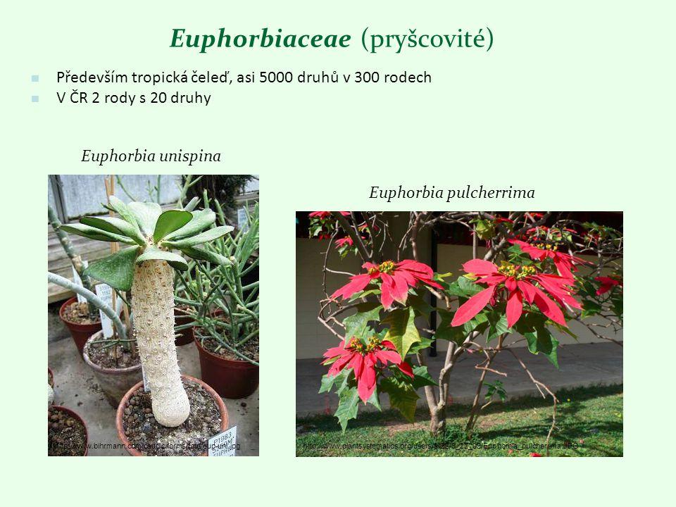 Euphorbia unispina Euphorbia pulcherrima http://www.bihrmann.com/caudiciforms/foto/eup-uni.jpghttp://www.plantsystematics.org/users/sv22/6_22_09/Eupho