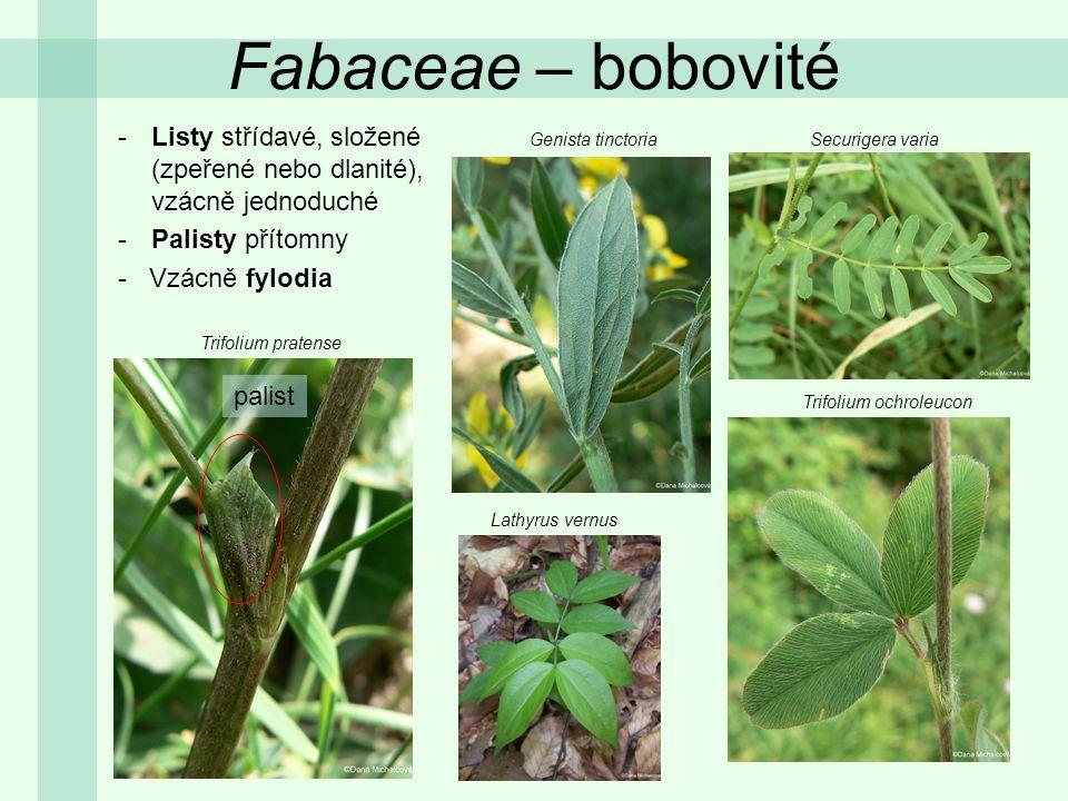 Fabaceae – bobovité -Listy střídavé, složené (zpeřené nebo dlanité), vzácně jednoduché -Palisty přítomny - Vzácně fylodia Trifolium pratense Genista t