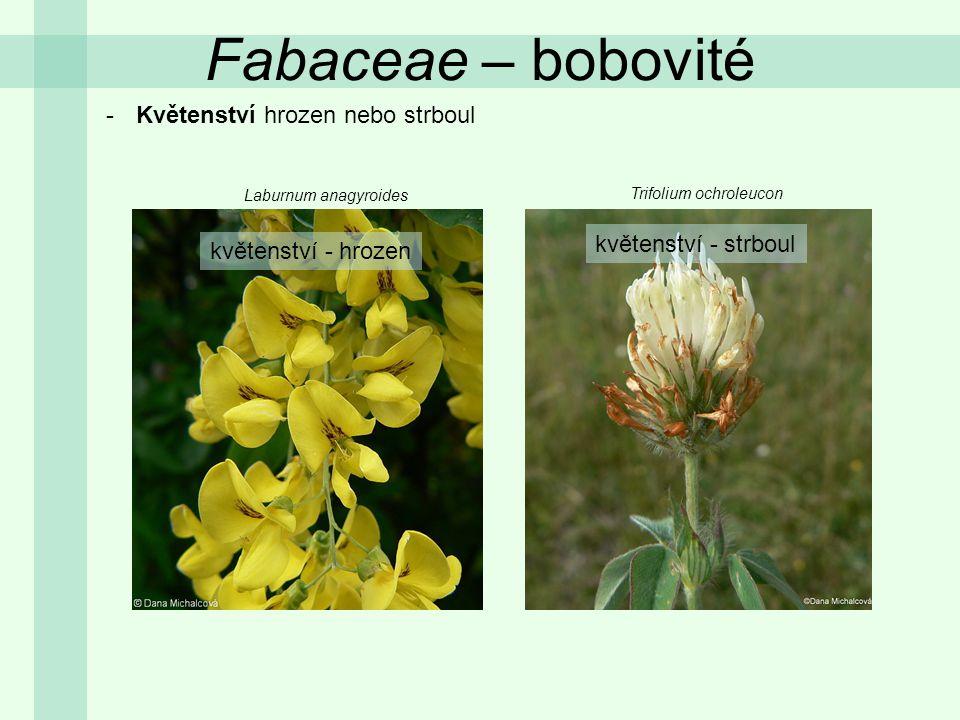 Fabaceae – bobovité -Květy oboupohlavné, zygomorfní (aktinomorfní pouze u cizokrajných), cyklické, pentamerické -Květní obaly rozlišené (kalich srostlý, koruna volná) pavéza křídla člunek Vicia faba Lathyrus sylvestris Anthylis vulneraria vytrvalý kalich http://upload.wikimedia.org