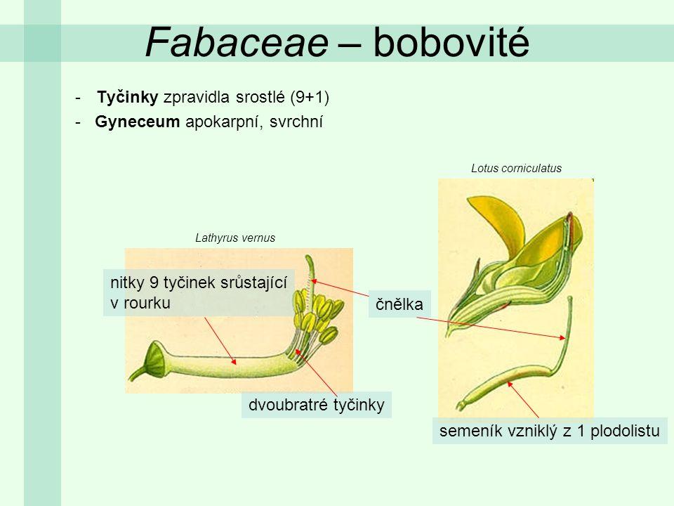 -Tyčinky zpravidla srostlé (9+1) - Gyneceum apokarpní, svrchní Lotus corniculatus Lathyrus vernus dvoubratré tyčinky nitky 9 tyčinek srůstající v rour