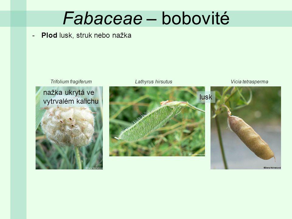 -Plod lusk, struk nebo nažka Trifolium fragiferumLathyrus hirsutusVicia tetrasperma lusk nažka ukrytá ve vytrvalém kalichu Fabaceae – bobovité