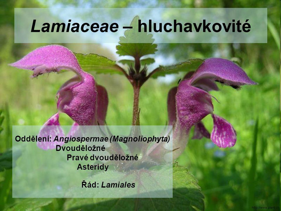 Lamiaceae – hluchavkovité Oddělení: Angiospermae (Magnoliophyta) Dvouděložné Pravé dvouděložné Asteridy Řád: Lamiales http://www.plant.ch