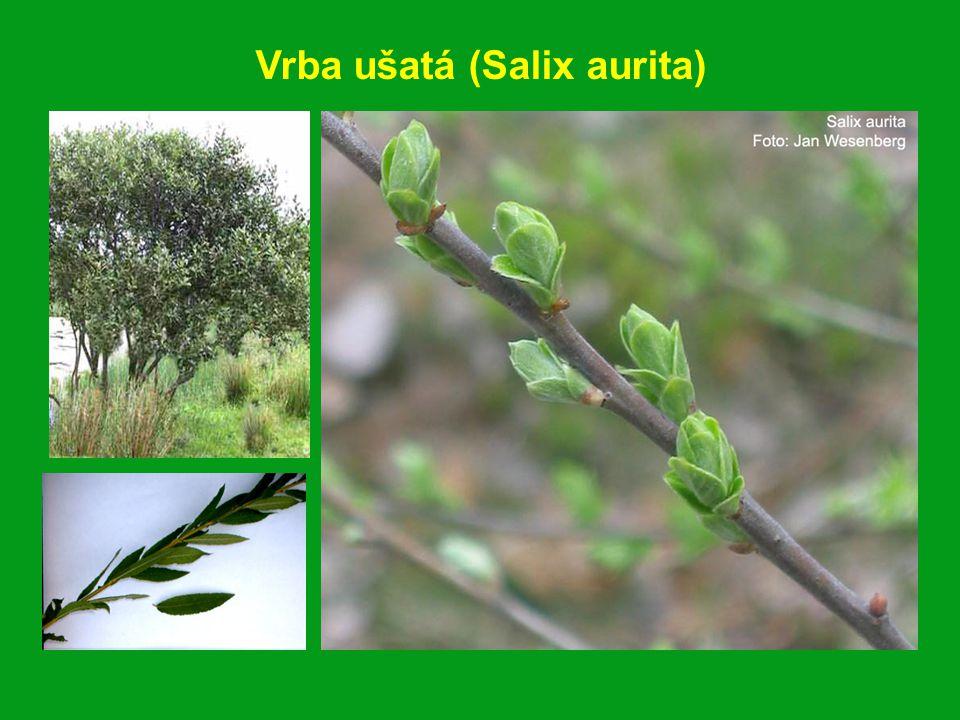 Vrba ušatá (Salix aurita)