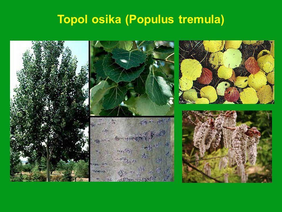 Topol osika (Populus tremula)