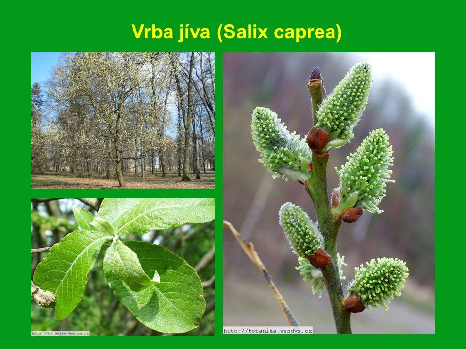 Vrba babylonská (Salix babylonica)