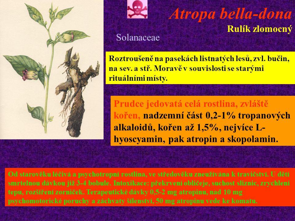 Atropa bella-dona Rulík zlomocný Solanaceae Roztroušeně na pasekách listnatých lesů, zvl.