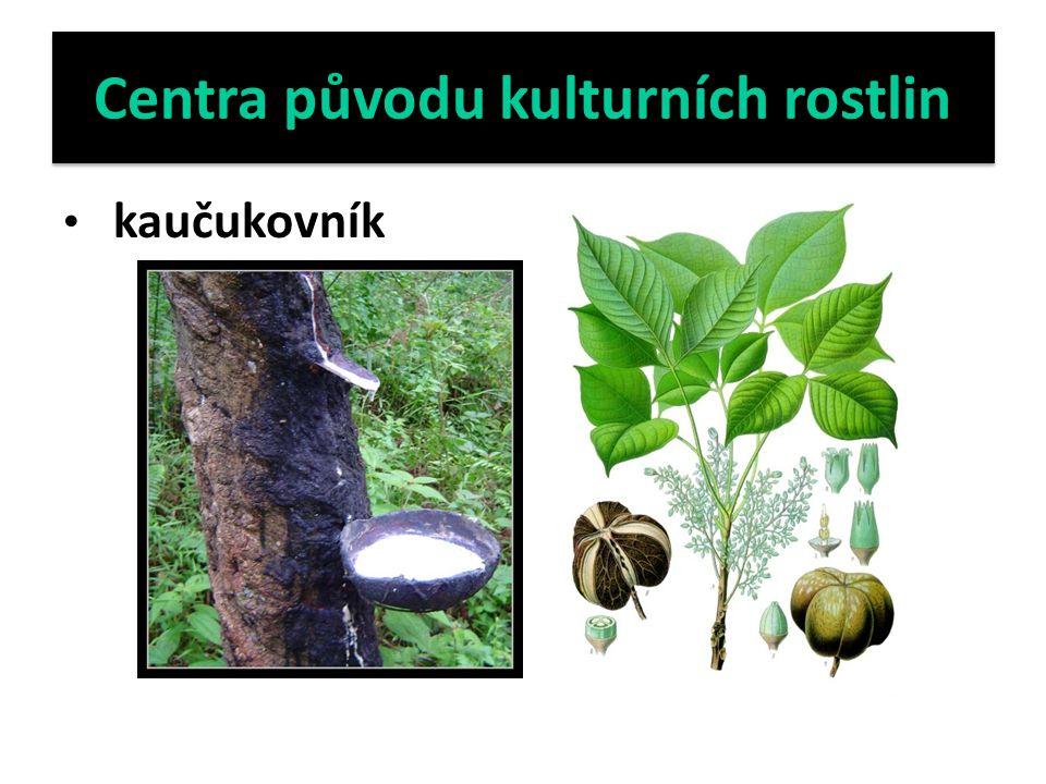 Centra původu kulturních rostlin kaučukovník