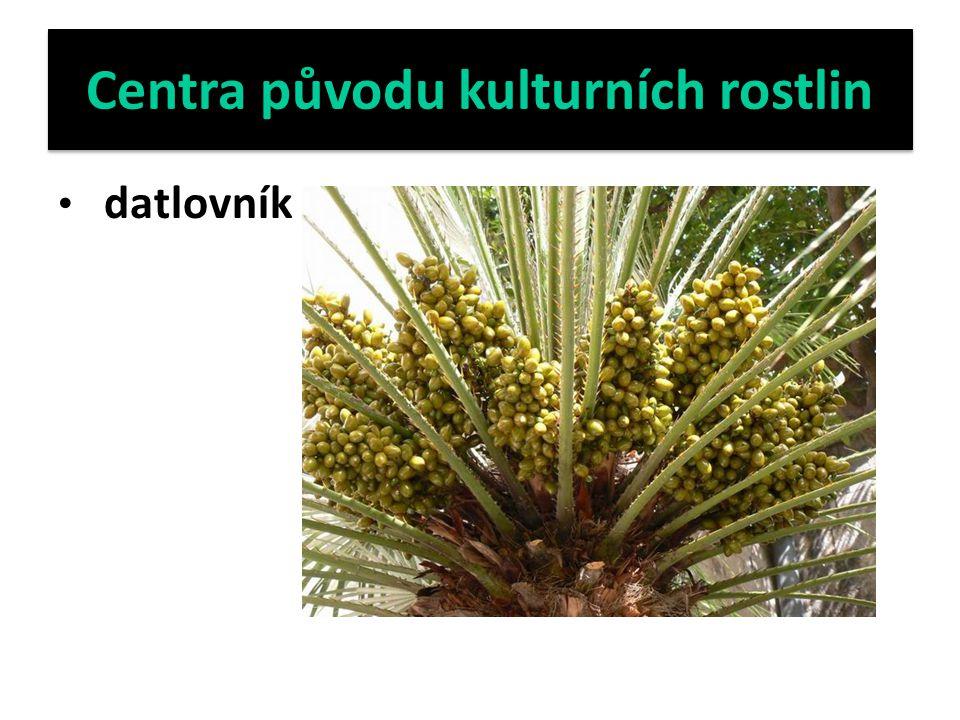 Centra původu kulturních rostlin datlovník