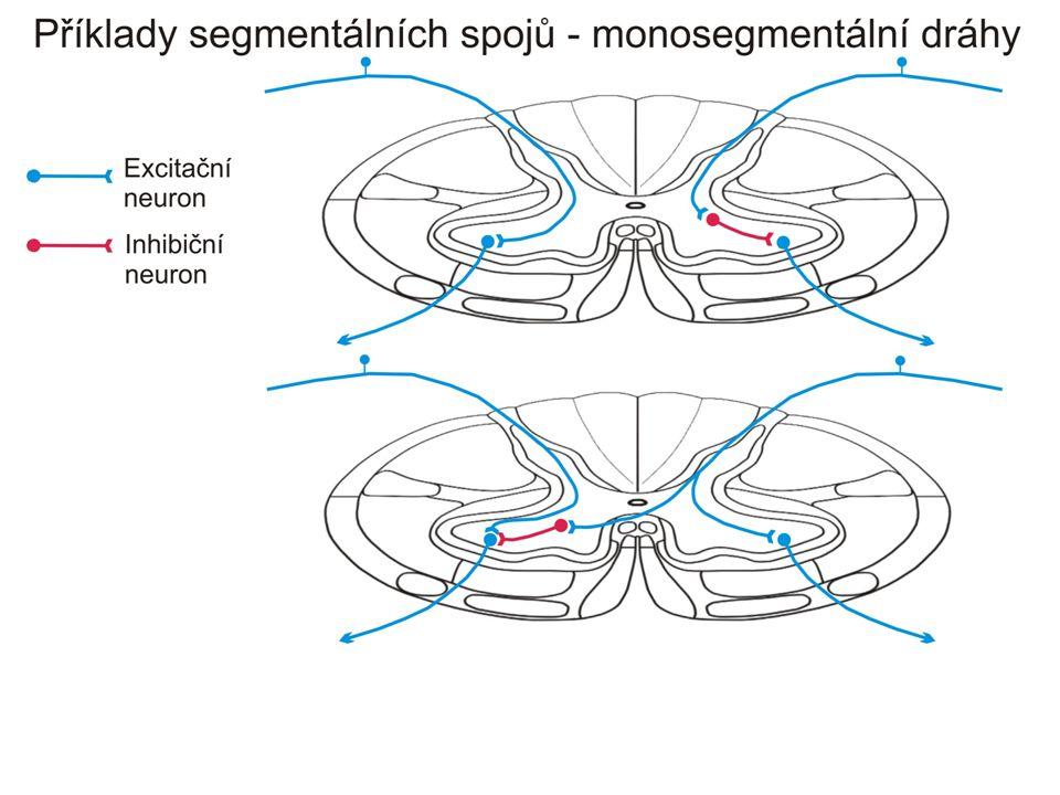 Mediální systém- motorika trupu (hlavně hluboké svaly zádové) Laterální systém- motorika končetin (Třetí systém- mimovolní emoční motorika)
