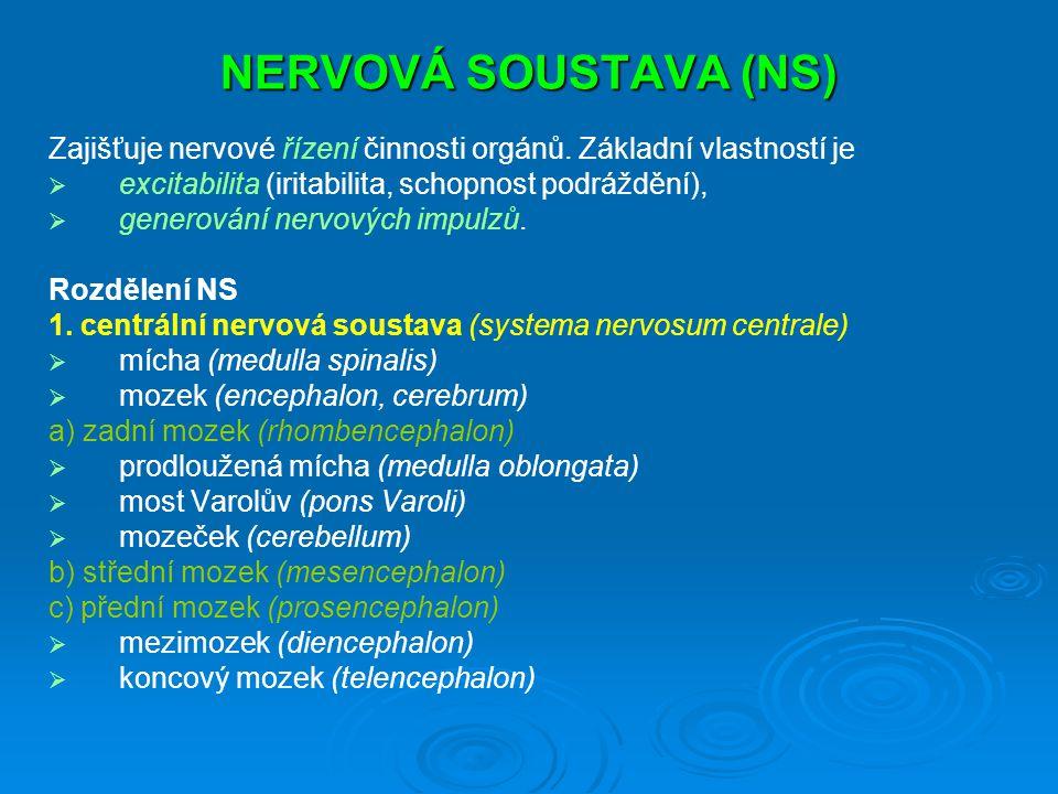 NERVOVÁ SOUSTAVA (NS) Zajišťuje nervové řízení činnosti orgánů.