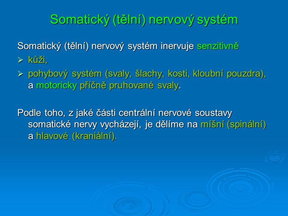 Somatický (tělní) nervový systém Somatický (tělní) nervový systém inervuje senzitivně  kůži,  pohybový systém (svaly, šlachy, kosti, kloubní pouzdra), a motoricky příčně pruhované svaly.