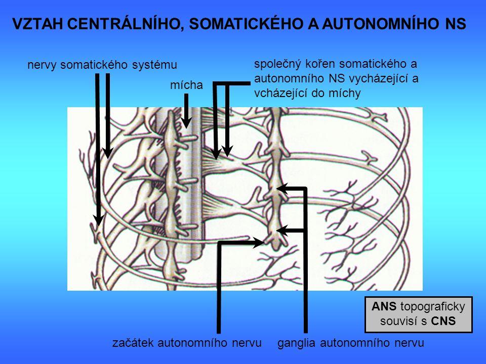 VZTAH CENTRÁLNÍHO, SOMATICKÉHO A AUTONOMNÍHO NS společný kořen somatického a autonomního NS vycházející a vcházející do míchy nervy somatického systém