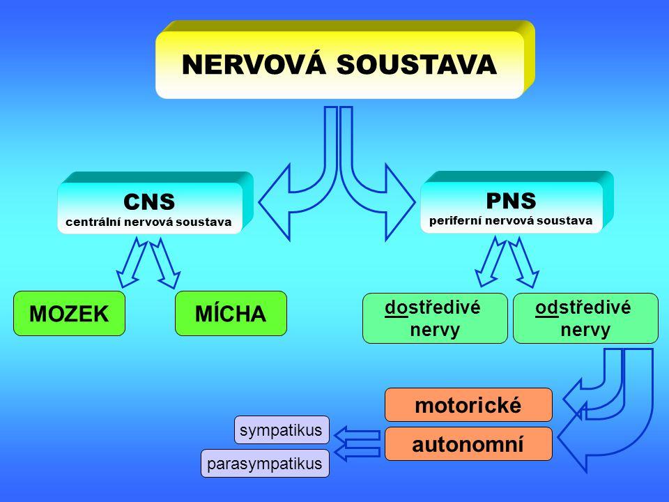MOZEK & MÍCHA SOMATICKÝ NERVOVÝ SYSTÉM AUTONOMNÍ NERVOVÝ SYSTÉM = inervace kosterní svaloviny = inervace hladké a srdeční svaloviny a žláz CNS PNS endokrinní systém