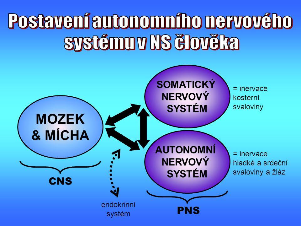charakteristika, znakSYMPATIKUSPARASYMPATIKUS souhrnná - celková funkcerychlá mobilizace energetických zdrojů udržení dynamické stability organismu výstup z CNS Th1 - L2 resp.C8 – L2 nebo L3 (→ thorakolumbální systém) mozkový kmen, S2- S4 (→ kraniosakrální systém) rozsah a distribuce vlákenskrz celé tělo (téměř všechny tkáně) útroby hrudní, břišní dutiny a pánve, slinné žlázy, oční bulbus, vzpřimovače chlupu v kůži délky pregangliových vs.