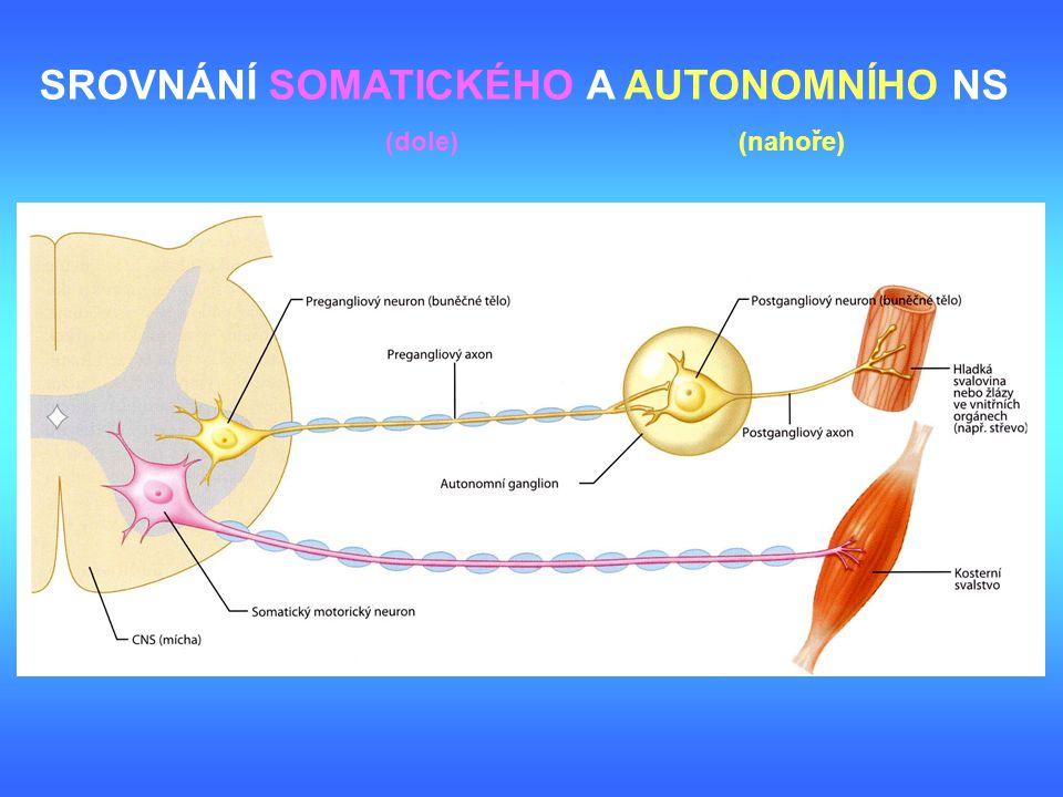 somatický motorický reflex autonomní motorický reflex vmezeřený neuron ganglium zadního kořene vmezeřený neuron ganglium zadního kořene somatický motorický neuron senzorický neuron postgangliový neuron pregangliový vegetativní ganglium útroba SROVNÁNÍ SOMATICKÉHO A AUTONOMNÍHO REFLEXU (vlevo) (vpravo)