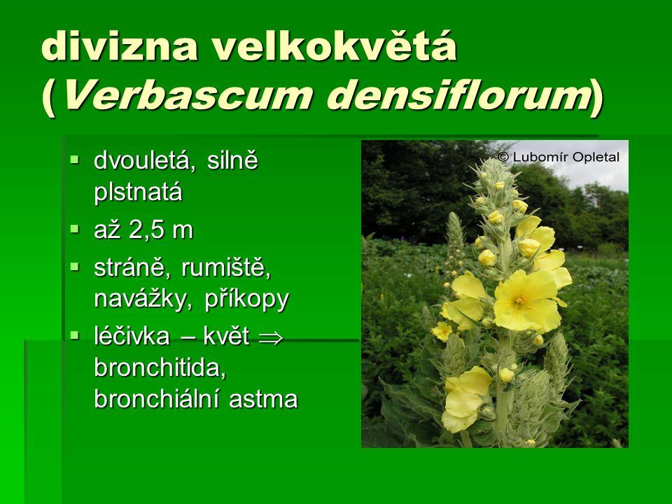 divizna velkokvětá (Verbascum densiflorum)  dvouletá, silně plstnatá  až 2,5 m  stráně, rumiště, navážky, příkopy  léčivka – květ  bronchitida, bronchiální astma