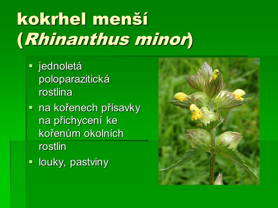 kokrhel menší (Rhinanthus minor)  jednoletá poloparazitická rostlina  na kořenech přísavky na přichycení ke kořenům okolních rostlin  louky, pastviny