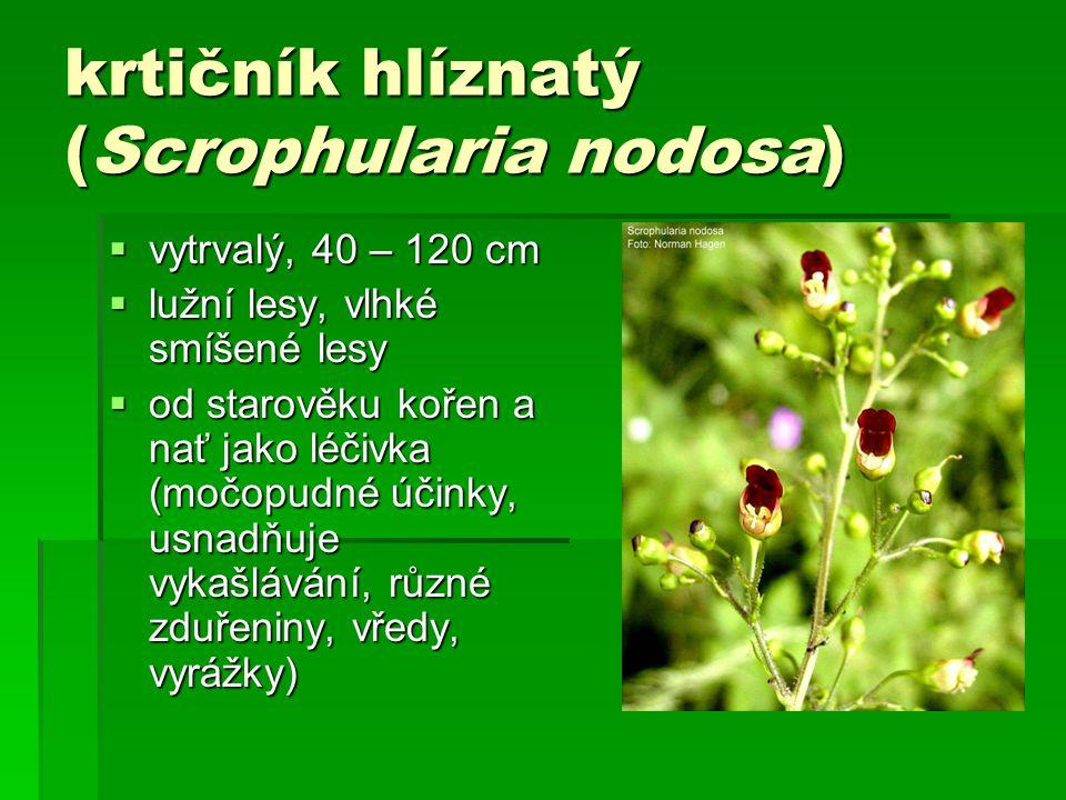 krtičník hlíznatý (Scrophularia nodosa)  vytrvalý, 40 – 120 cm  lužní lesy, vlhké smíšené lesy  od starověku kořen a nať jako léčivka (močopudné účinky, usnadňuje vykašlávání, různé zduřeniny, vředy, vyrážky)