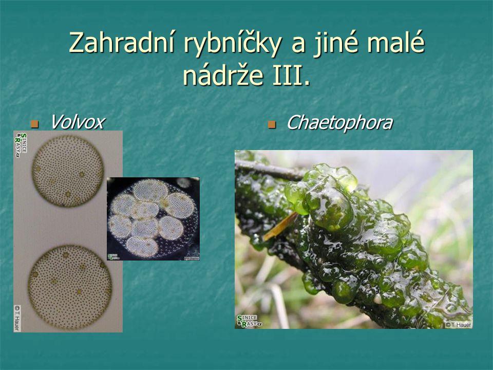 Zahradní rybníčky a jiné malé nádrže III. Volvox Volvox Chaetophora Chaetophora