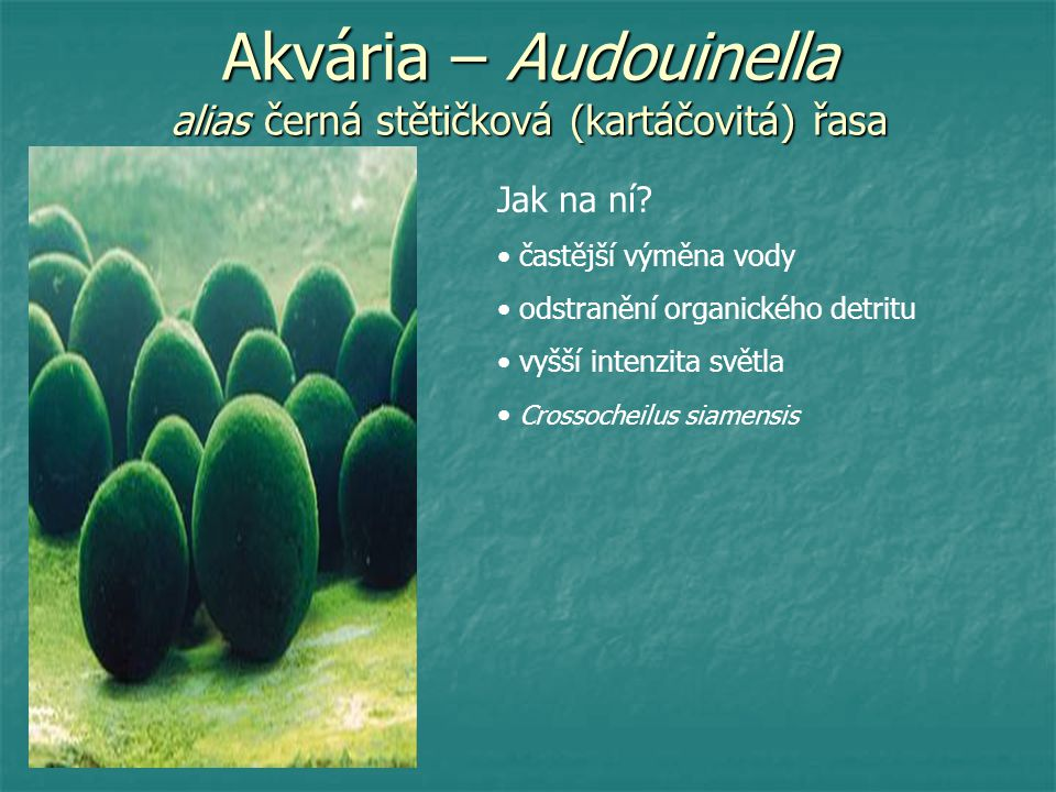 Akvária – Audouinella alias černá stětičková (kartáčovitá) řasa Jak na ní? častější výměna vody odstranění organického detritu vyšší intenzita světla
